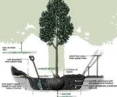 Как посадить дерево: пошаговая инструкция, как правильно посадить дерево