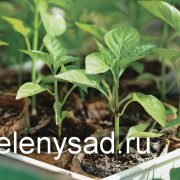 Как вырастить здоровую рассаду перца: условия выращивания перца
