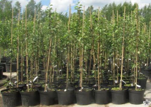 саженцы в контейнерах, как посадить дерево, дерево в горшке