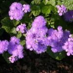 Агератум: выращивание и использование в цветниках