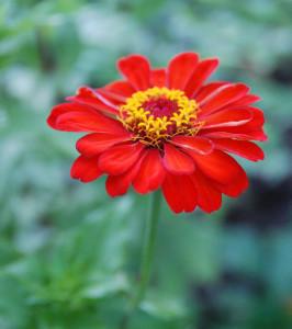 циния выращивание, цветок циния