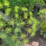 Пряные травы в саду: как вырастить укроп