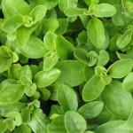 Пряные травы в саду: как вырастить душицу (майоран и орегано)