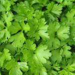 Пряные травы в саду: петрушка листовая
