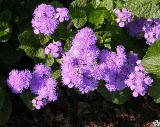 Какие цветы можно сажать в открытый грунт семенами 18