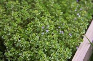 вырастить тимьян, вырастить тимьян из семян