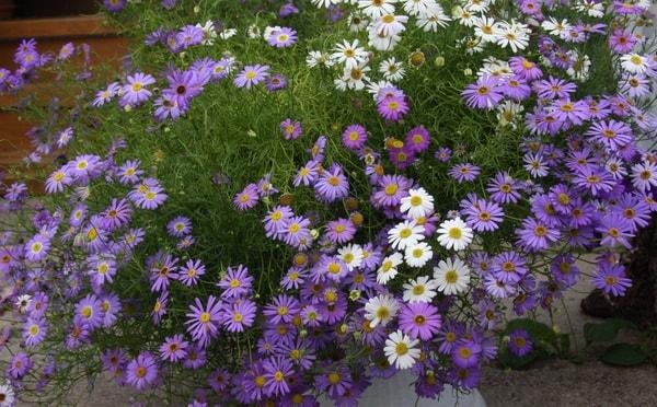 Какие цветы можно сажать в открытый грунт семенами 65