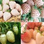 Земляника с белыми ягодами: пять самых лучших сортов