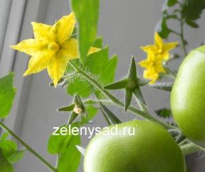 Очень важным моментом выращивания томатов в домашних условиях является их искусственное опыление. Чтобы получить хороший урожай на подоконнике, надо точно знать, как правильно и в какое время надо производить ручное опыление томатов. Высокая урожайность томатов в немалой степени зависит от количества завязи плодов. Цветы томата вырабатывают достаточно много пыльцы. Она годна к произведению опыления собственных цветков, и тех, что расположены рядом. В условиях открытого грунта все помидоры опыляются ветром и насекомыми (пчелы, шмели и т.д.). На процедуру опыления и его качественность сильно влияют погодные условия. Немаловажная роль в ходе опыления отведена температуре. Ночью, когда температура опускается ниже 13 градусов, пыльники цветка деформируются, в связи с этим качество и свойства пыльцы понижается. Когда же ртутный столбик повышается до 35 градусов, уже сформировавшиеся пыльцевые зернышки утрачивают свою пригодность. В этом случае опыление не происходит, а цветки на кистях осыпаются. Не редко перегревание случается в тепличном выращивании. При выращивании томатов на подоконнике в комнате природных факторов нет, оттого опыление цветущего растения нужно совершать автономно. Как правильно производить опыление томатов вручную 1 способ Выполнить искусственное опыление цветков совсем не составит труда. Для этого надо подобрать тонкую нежную кисть. Ею нужно дотронуться до каждого цветочка. Необходимо вначале кисть чуть выпачкать в пыльце, а после прилипшими частичками пыльцы надлежит перепачкать пестики каждому цветку. Опылять у помидора можно только все распустившиеся цветки, не учитывая время их распускания. Самое оптимальное время для проведения опыления это с 8 до 10 часов утра. 2 способ Также можно помочь томатам: на протяжении времени цветения, раз через несколько дней, необходимо очень осторожно встряхнуть куст. Такой метод опыления томатов в домашних условиях можно использовать как для балконных, комнатных помидоров, так и для тепличных. После встряски землю