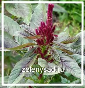 выращивание амаранта из семян, посев амаранта семенами, амарант посадка и уход