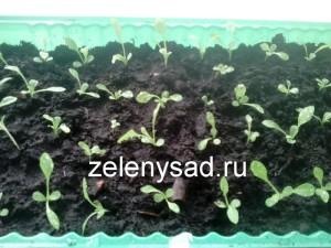 как выращивать астры из семян, как правильно вырастить астры из семян