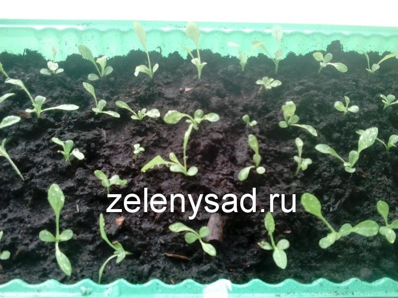 Выращивание астр в грунт 323