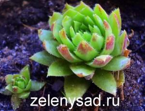 растение молодило