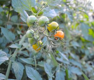 помидоры в открытом грунте в подмосковье, сорта помидоров для открытого грунта в подмосковье