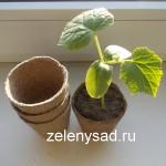 Как вырастить рассаду огурцов  в торфяных горшочках