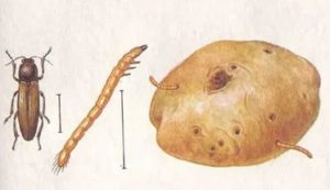 как бороться с проволочником на огороде, как бороться с проволочником на картошке