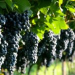Как вырастить виноград в Подмосковье: подбор сортов, посадка и уход