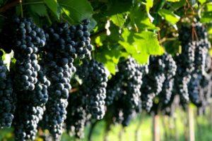 посадка винограда в Подмосковье, уход за виноградом в подмосковье, как вырастить виноград в подмосковье