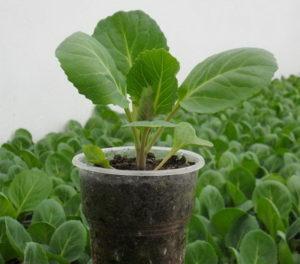 выращивание рассады капусты в домашних условиях,  вырастить рассаду капусты в домашних условиях