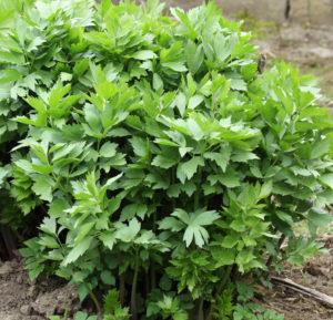 многолетние пряные травы, пряные травы в сибири