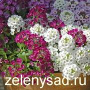 Алиссум однолетний выращивание из семян, посадка и уход за алиссумом
