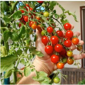 Какие овощи можно вырастить на балконе