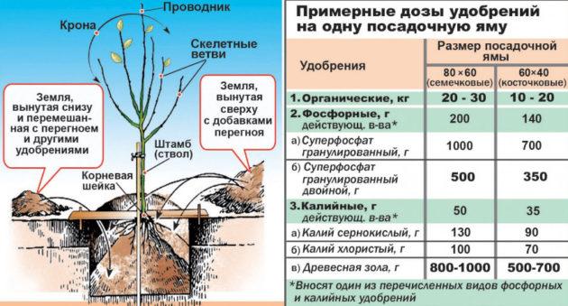 груша посадка и уход, как посадить грушу, уход за грушей