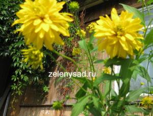 цветы золотые шары, рудбекия золотой шар