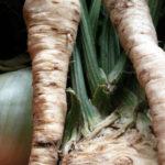 Выращивание корневой петрушки из семян