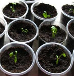 сельдерей корневой выращивание рассады