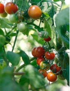 как ускорить созревание помидоров, как ускорить созревание помидоров в открытом грунте, как ускорить созревание помидор в теплице