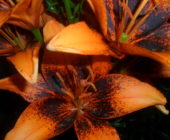 Как, когда и чем подкормить лилии