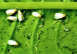 Как избавиться от белокрылки на помидорах? Я не применяю химию в теплице, поэтому использую следующие приемы: чесночный настой, проветривание и цветовые ловушки. А теперь подробнее о каждом из этих способов. Посадила в этом году много помидоров, и рассада удалась, и пошли они сразу хорошо, и завязались. А потом вижу, что на них напали мелкие белые бабочки, они такие маленькие и вполне симпатичные, но их очень-очень много. Это белокрылка - небольшая бабочка, около трех мм длиной, с белыми крыльями, которая очень любит селиться во влажных теплицах и способна нанести растущим там культурам большой вред. Они в больших количествах поселяются на помидорах, скапливаясь в основном на нижней стороне листьев. В процессе питания эта мушка оставляет на листьях свои испражнения, внешне выглядящие как белый налет. Через какое-то время на этих местах появляются сажистые грибы, которые со временем меняют цвет с белого на черный. Как избавиться от белокрылки на помидорах в теплице Если замечаю ее на своем участке, тут же прибегаю к народным средствам борьбы с белокрылкой. Во-первых, обрабатываю растения раствором чесночного настоя (головку чеснока очистить, измельчить, залить 1 л воды, настоять 5 дней и развести в 10 л воды). Во-вторых, не забываю регулярно проветривать теплицу - сквозняки белокрылке не по нраву. А в-третьих, использую цветовую атаку. Беру белую и желтую бумагу, нарезаю ее квадратами, обмазываю вазелином или касторкой и наклеиваю их на рамы с внутренней стороны теплицы. Белый и желтый цвета привлекают белокрылку, и она прилипает к бумаге. Каждую ловушку использую по несколько раз, пока она не загрязнится. Чтобы полностью избавиться от белокрылки на помидорах, методы борьбы с белокрылкой нужно принимать сразу же. Первым делом стоит расположить рядом с растением клеевые ловушки. Можно использовать клеевые ленты от мух. Как вариант, возможно самостоятельное изготовление подобной ловушки из яркого картона (или другого материала), смазанного вазелином или касторовым масл
