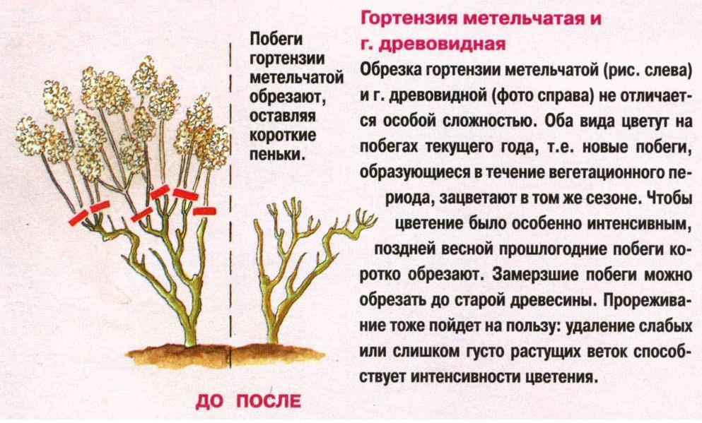 Гортензия метельчатая: обрезка осенью и весной zelenysad.ru