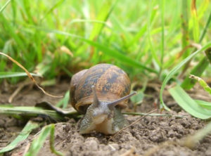как избавиться от улиток в огороде
