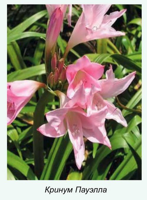 Редкое садовое растение — кринум Пауэлла