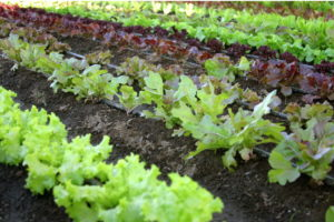 как вырастить семена салата