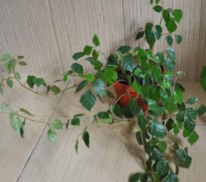 комнатный цветок березка, комнатный цветок березка уход, комнатное растение березка