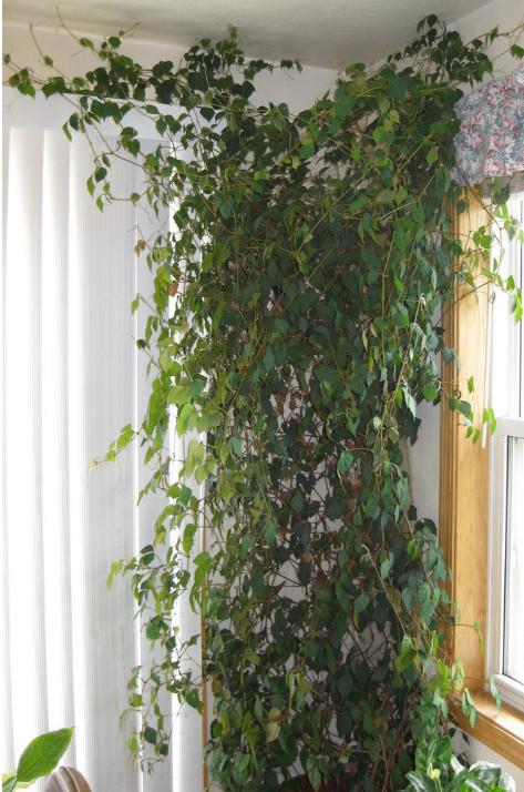 Комнатный цветок виноград