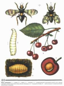 Основные методы борьбы с вишневой мухой - это весенне опрыскивание, перекопка приствольного круга, борьба с тлей. А теперь подробно о том, как избавиться от вишневой мухи в саду.   Весной, как только средняя температура воздуха поднимется выше 10 градусов тепла, появляется вредитель виши и черешни - вишневая муха. Замечено, что её вылет совпадает с цветением акации. Питается она сладкими выделениями тли.  Когда плоды черешни или вишни начинают окрашиваться и становиться мягче, муха прокалывает кожицу и откладывает под неё яйцо. Каждая муха способна повредить до 150 плодов. Из яйца рождается личинка - белый червячок длиной до 4 мм. Личинка, развиваясь, питается мякотью. Плод загнивает и опадает, а вместе с ним и личинка. Оказавшись на земле, она покидает плод, заглубляется в землю на 3-5 см и там окукливается, чтобы перезимовать. Весной вылетает муха, и цикл повторяется.  2017-02-24_134544  Вишнёвая муха:  методы борьбы  Для того, чтобы не потерять урожай, необходимо защитить вишни и черешни от этого насекомого-вредителя. Как это сделать? Существуют агротехнические методы по уходу за деревьями, а также применяются препараты от вишневой мухи.  Как и чем обрабатывать деревья  Борьба с вишнёвой мухой заключается в применении инсектицидов (конфидор, арриво, децис, каратэ и др.) Обрабатывать рекомендуется не только крону, но и приствольный круг. Этот метод хорошо подходит для средних и поздних сортов вишни и черешни.  Первое опрыскивание проводят после вылета мухи, затем повторяют через 21 день. Важно прекратить обработки за 20-25 дней до сбора урожая.  Агротехнические методы  Если у вас растут ранние сорта вишни и черешни, то лучше ограничиться агротехническими приёмами.  Это осенняя перекопка приствольного круга и влагозарядковый полив, а весной и летом - рыхление почвы. Важно вовремя и полностью снимать урожай, собирать и уничтожать опавшие плоды. Борясь с тлёй, вы лишаете вишнёвую муху питания, поэтому полезно вырезать поросль, выпалывать сорняки, на которых селится т