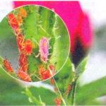 Как избавиться от тли на цветах, розах и декоративных кустарниках