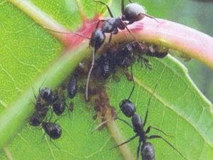 средство от муравьев на участке