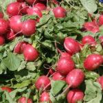 Посадите редис осенью!