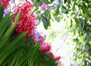 гиацинты в саду, гиацинты в саду посадка и уход