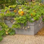 Как вырастить тыкву рассадой