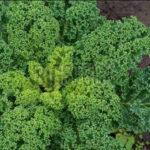 Капуста кале: выращивание из семян