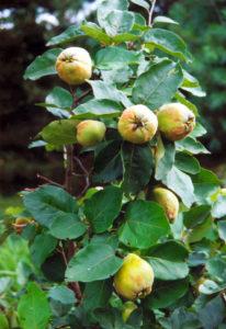 дерево айва: посадка и уход