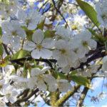 Почему опадает завязь у вишни, яблони и других плодовых деревьев?