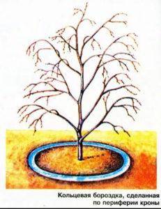 как поливать плодовые деревья, когда поливать деревья