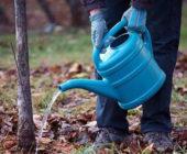 Когда и как поливать плодовые деревья
